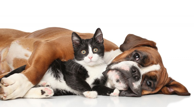 bigstock-Cat-And-Dog-Together-80807387-800x445