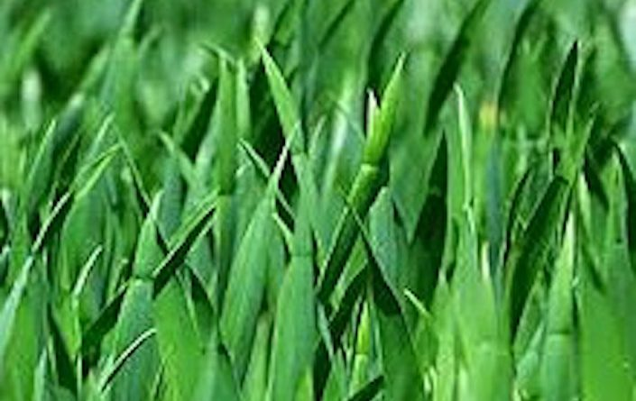 220px-Grass_Blades