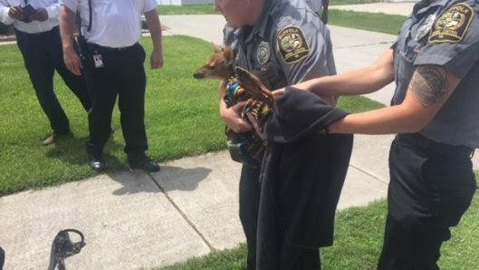Young deer rescued from storm drain in Suffolk