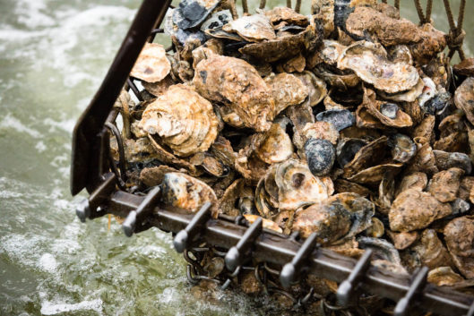 Help Grow the Oyster Population with Oyster Gardening