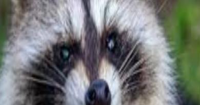 Rabid Raccoon Found in the Larrymore Lawns Area of Norfolk